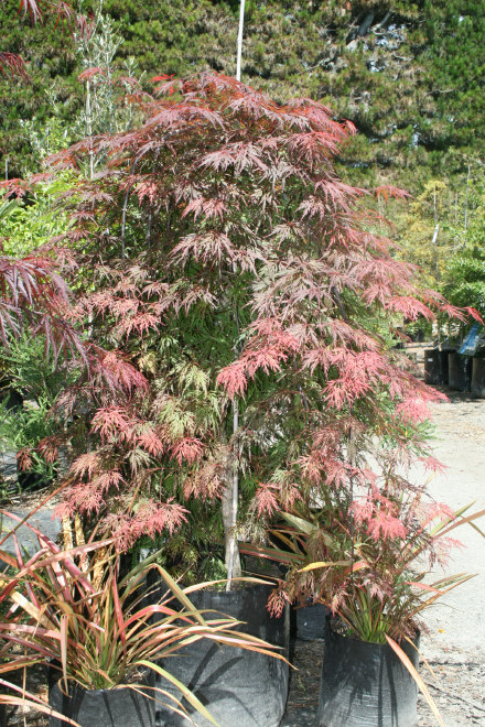 Acer Palmatum Dissectum Orangeola Fronds New Zealand Suppliers Of