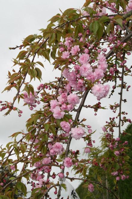 Prunus Kiku Shidare Sakura Fronds New Zealand Suppliers