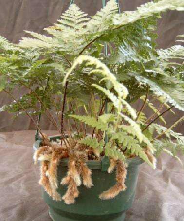 Davallia mariesii Rabbit's foot fern - Fronds New Zealand ...