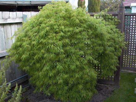 Acer palmatum dissectum - Viridis - Fronds New Zealand