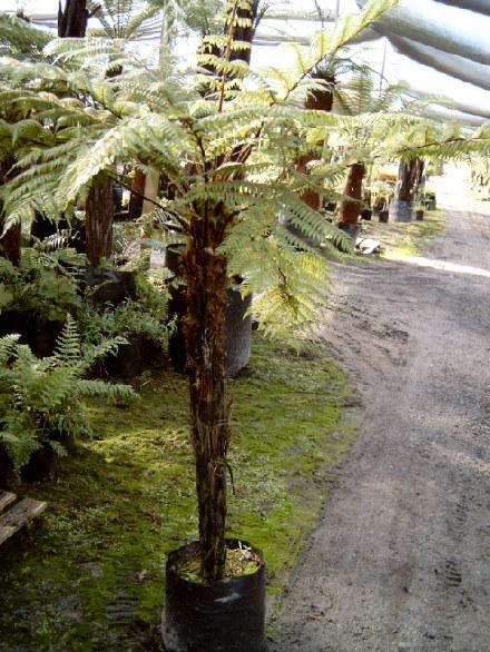 Cyathea Cunninghamii Gully Tree Fern Fronds New