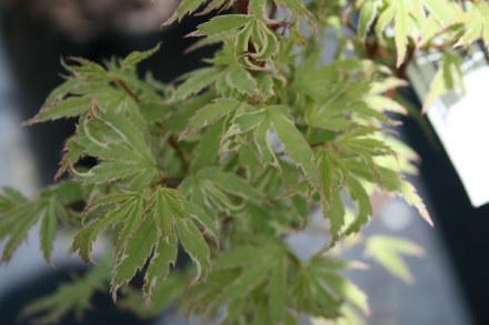 Acer Palmatum Roseo Marginatum Fronds New Zealand Suppliers Of Native New Zealand Ferns Nz Plants Nz Trees Nz Shrubs Landscaping Ferns Nz Ponga Nz Ferns Exotic Ferns Nz Tree Ferns Nz