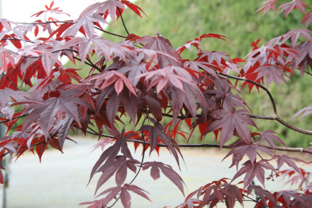 acer palmatum bloodgood   fronds new zealand suppliers of